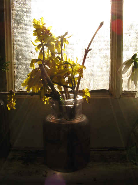 forsythia in the sun